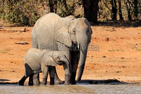 elefante elefanti safari pozza dacqua