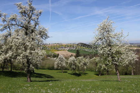 flowering pear trees pyrus communis in