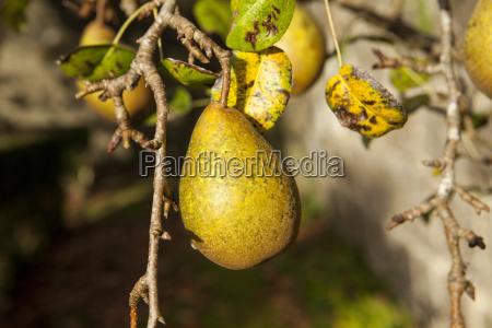 foglia albero orizzontale ramo frutta francia
