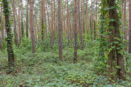 albero pino caucasico europeo europa germania