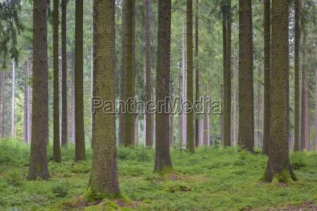 foresta di abete rosso rigenerazione naturale