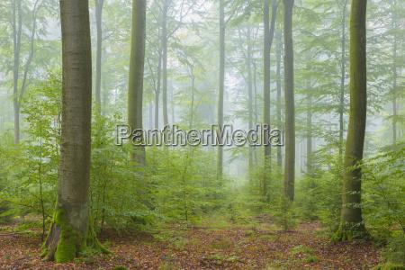 foresta di beech in misty morning