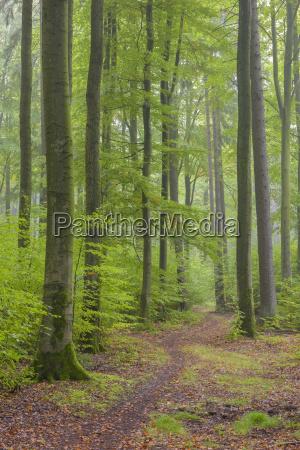 alberi di faggio fagus sylvatica in
