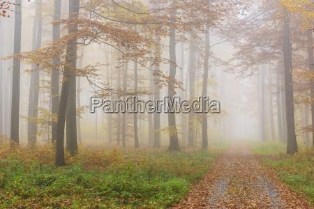 percorso attraverso misty european beech fagus