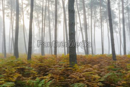 pino nella mattinane in autunno in