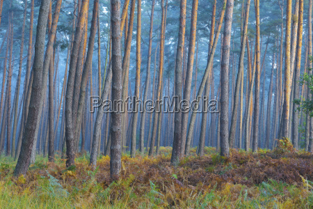 blu bello bella albero selvaggio pino