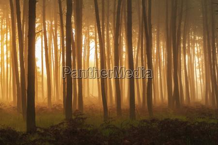 tronchi dalbero silhouetted in una pineta