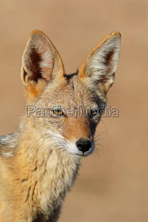 animale mammifero ritratto occhi natura sciacallo