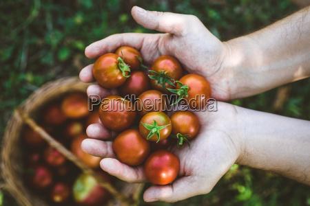 raccolto di pomodori in autunno