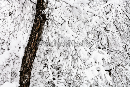 snow covered old birch tree in