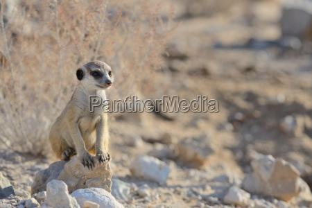 young meerkat suricata suricatta sitting on