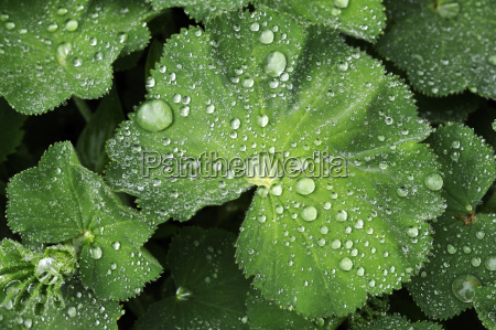 leaf of ladys mantle alchemilla with