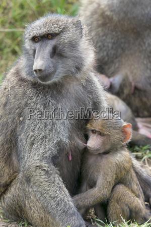 bere animale mammifero fauna parco nazionale