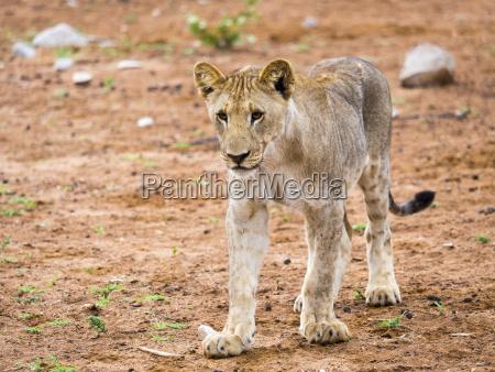 young lion panthera leo okaukuejo etosha