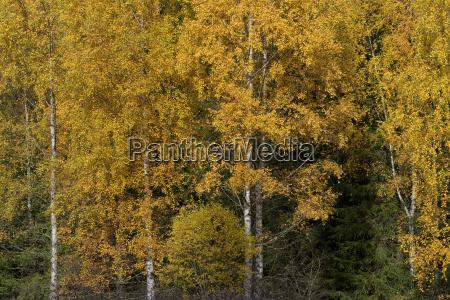 parco nazionale betulla europa autunnale foreste