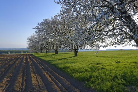 flowering fruit trees near pottsching burgenland