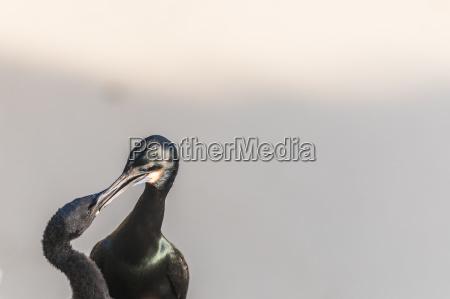 two brandts cororant birds close up