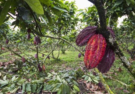 baccelli di cacao sugli alberi theobroma