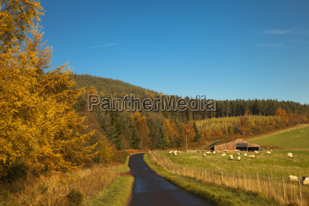 a country road with sheep grazing