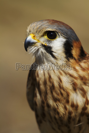 american kestrel female falco sparverius ecomuseo