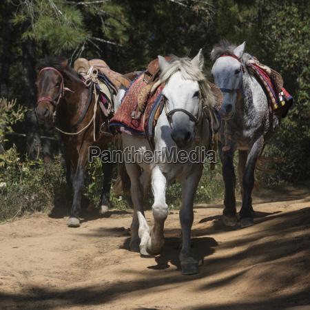 horses on the taktsang trail paro