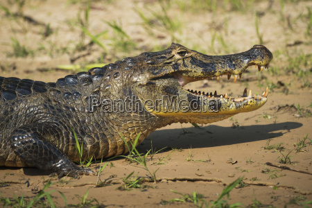 close up of yacare caiman caiman
