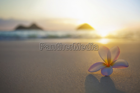 a pink plumeria flower sits on