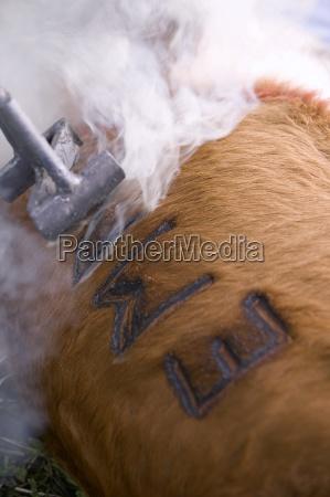 branding del bestiame