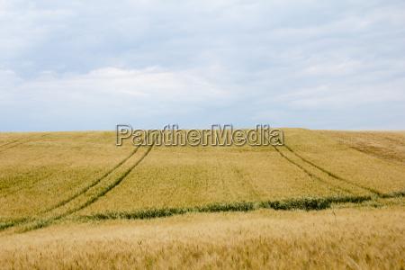 campi di mais con corsie e