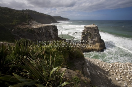 a gannet colony muriwai beach new