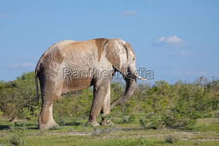 elefante toro namibia sporcizia natura safari