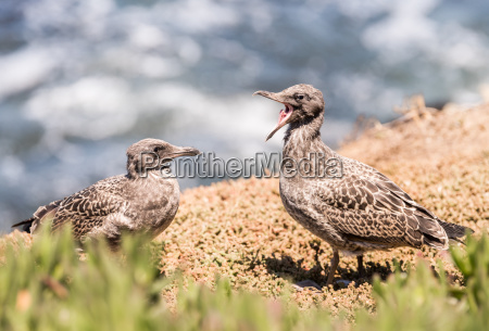 two young seagull fledglings