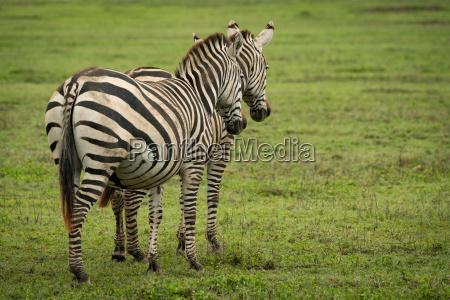 animale mammifero africa zebra natura africano