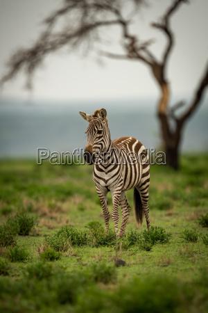 albero alberi animale mammifero africa rami