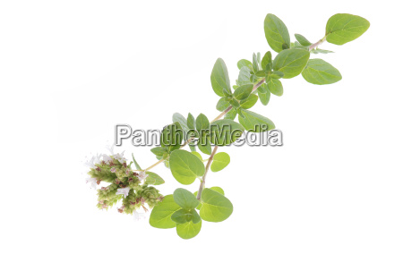 fresh oregano isolated on a white