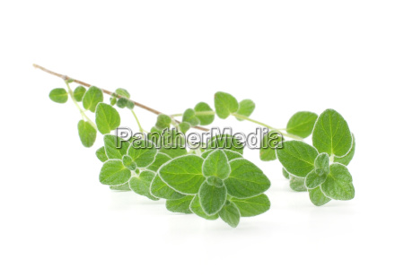 twig of fresh marjoram isolated on
