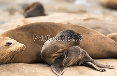 sea lion baby and mom