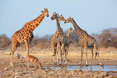 namibia natura safari mandria giraffa giraffe