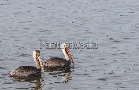 two brown pelicans swimming in the