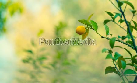 giardino di limoni