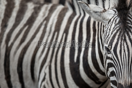 zebra close up vista con accento