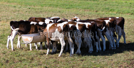 dutch calfs