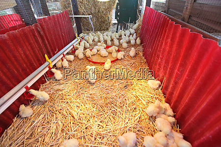 animale agricoltura uccelli scatola scatolame pollo
