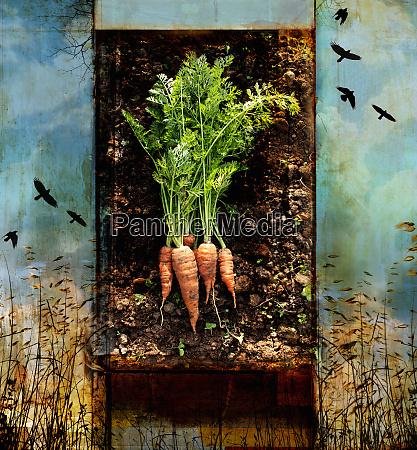 carote fresche con radici nel terreno