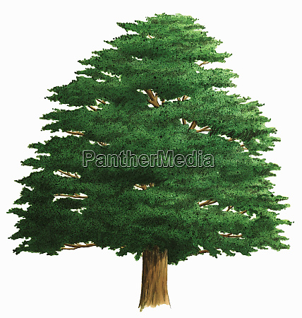 albero singolo su sfondo bianco yew