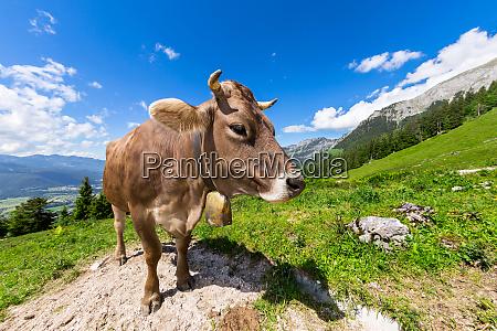 mucca marrone nel paesaggio montano