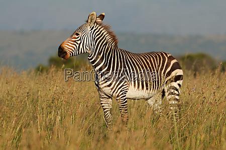 zebra fauna selvatica quagga animale natura