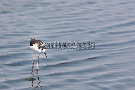 black necked stilt bird standing in