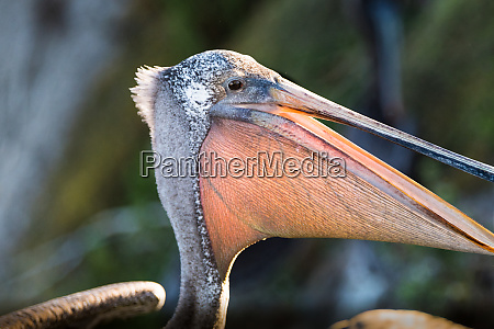 brown pelican close up mostrando la