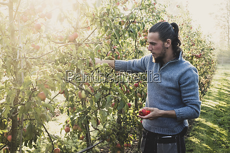man standing in apple orchard picking